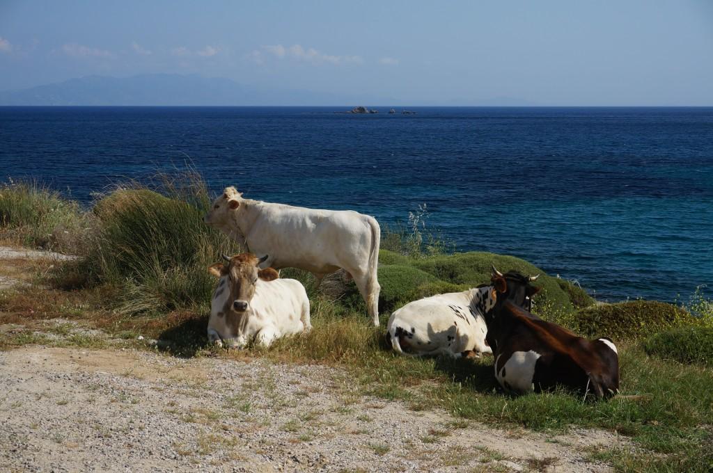 Cows in Kea/Tzia