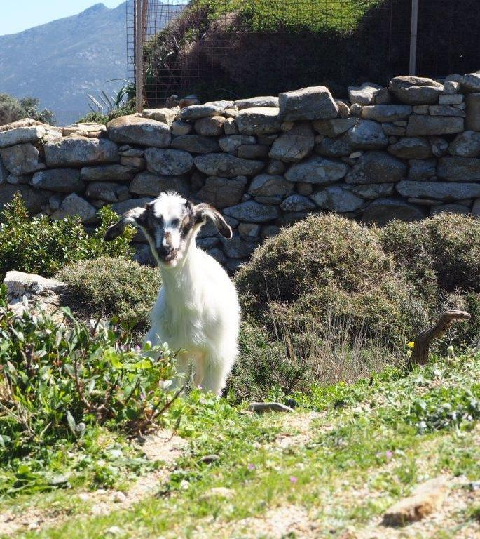 A goat in Tinos - Luxury Holidays in Tinos