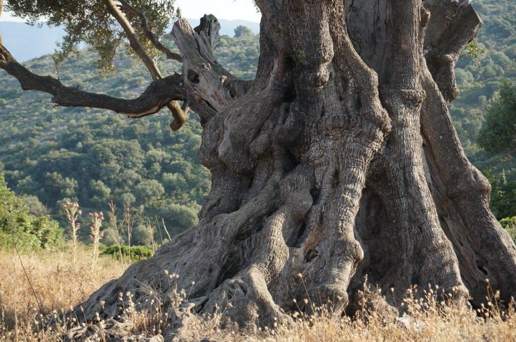 Ancient tree in Ithaca - Greece